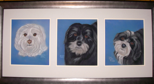 The Three Havanese